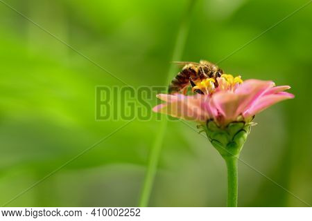 Bee And Flower. Close Up Of A  Striped Bee Collecting Pollen On A Pink Flower On A Sunny Bright Day