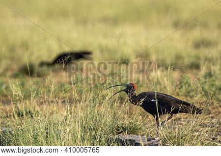 Red Naped Ibis Or Indian Black Ibis Or Pseudibis Papillosa Tossing Up Grasshopperkill With Long Beak