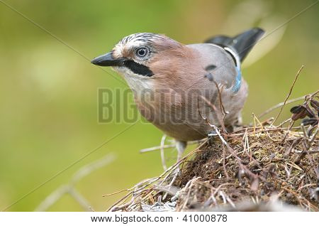 The Eurasian Jay (Garrulus glandarius) is a species of bird occurring over a vast region from Western Europe poster