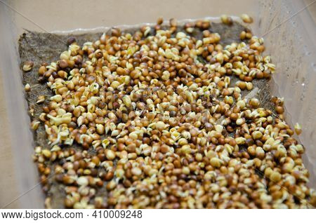 Germinating Radish Microgreen Seeds On Damp Linen Mat In Plastic Container. Kit For Growing Microgre