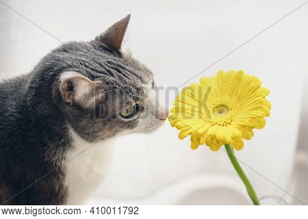 Adult Cat Smelling Yellow Gerbera On Light Background. Gray Cat Sniffing Flower. Cozy Morning At Hom