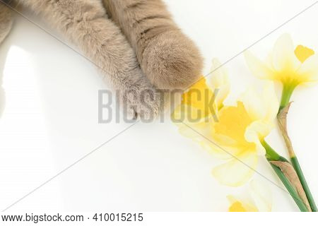 Narcissus Flowers With Cat Paws On White Background.
