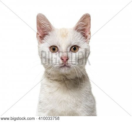Head shot of a white young Crossbreed cat kitten isolated on white