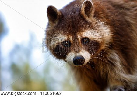 Portrait Of Female Common Raccoon. Photography Of Nature And Wildlife.