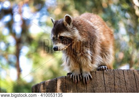 Full Body Of Female Common Raccoon. Photography Of Nature And Wildlife.