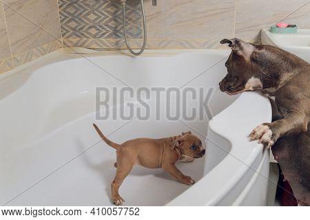 American Bully Bathing, Pitbull, Dog Cleaning, Dog Wet A Bath.