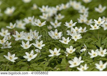 Beautiful Vernal Carpet Of Wood Anemone,  Anemone Nemorosa Blooming In White Flowers In Estonian Nat