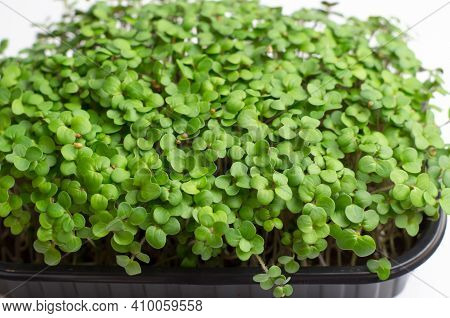 Mustard Microgreen Sprouts Close Up. Raw Sprouts, Microgreens, Healthy Food Concept