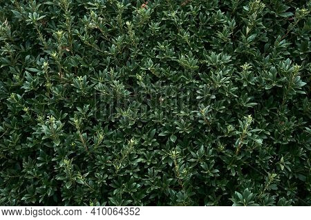 Natural Background Of Leaves - Laurel Hedge