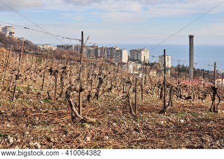 Vines Cut For The Winter In The Vineyard Against The Backdrop Of Coastal Town