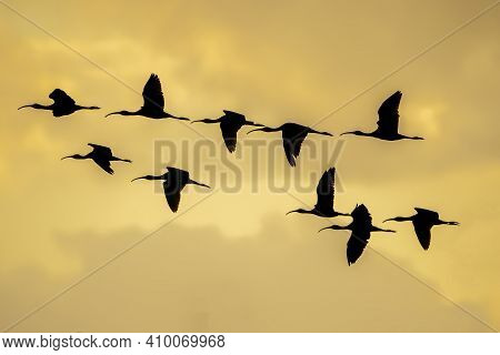 Silhouette Of Group Of Glossy Ibis (plegadis Falcinellus) At The Ricefields At Sunset In Albufera De