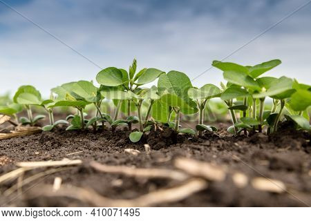 Fresh Green Soy Plants On The Field In Spring. Rows Of Young Soybean Plants