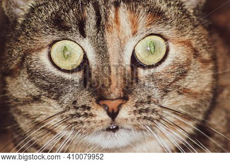Cat Face Portrait, Close Up. Funny And Surprised Cat With Wide Eyes Is Staring At The Camera.