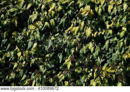 Evergreen Creeper, Dark Green Leaf With A Yellow Center. Older Leaves Are Larger And More Rounded. V