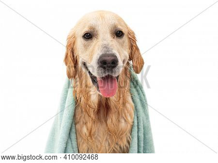 Cute wet golden retriever dog wearing in towel after washing isolated on white background