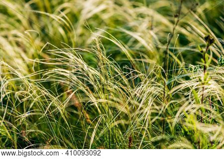 Feather Grass Or Needle Grass, Nassella Tenuissima, Forms Already At The Slightest Breath Of Wind Fi
