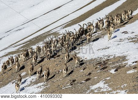 Herd Of Ibex Climbs Up A Snow-covered, Rocky Mountainside. A Large Herd Of Siberian Mountain Goats O