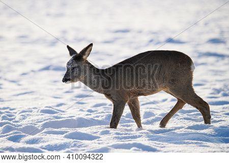 Roe Deer In Winter. Young Roe Deer On Snowy Field. Wild Animals In Nature.
