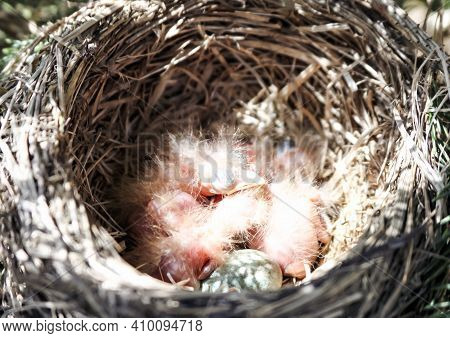 Newborn Chicks And The Egg Of A Blackbird And In A Nest On A Spruce Tree. Day-old Thrush Chicks In A
