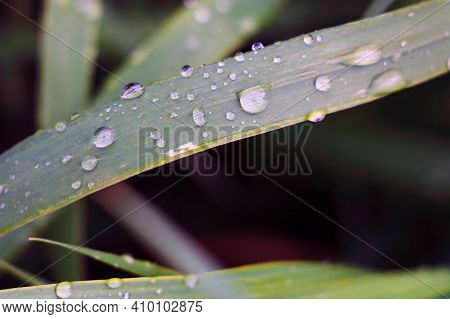 Water Drops On The Grass After Rain