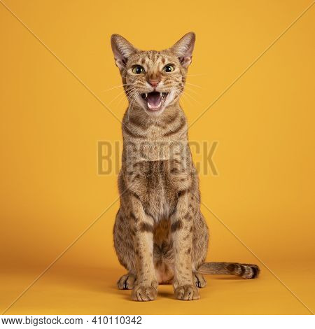 Handsome Adult Male Ocicat Cat, Sitting Up Facing Front. Looking  Towards Camera, With Mouth Open Sc