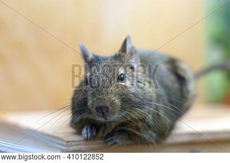 Domestic Pet Degu Rat. 2020 Year Symbol. Fluffy Rat Portrait.