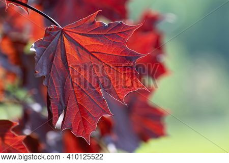 Insolated Serrated Red Fresh  Leaf  Closeup On Multicolored  Floral Background  With Some Bokeh.  Us