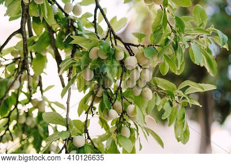 Unripe Plum On The Tree. Close-up Of Green Fruits Of Plum Tree On Branches In Leaves.