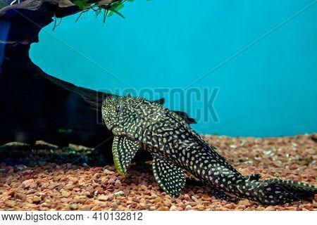 Huge Ancistrus Catfish Fish. Big Tropical Freshwater Fish Cleaning Aquarium. Ancistrus Dolichopterus
