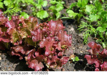 Young Leaves Of Red Lettuce Grow On The Ground. Growing Lettuce In The Garden. Red Lettuce Leaves To