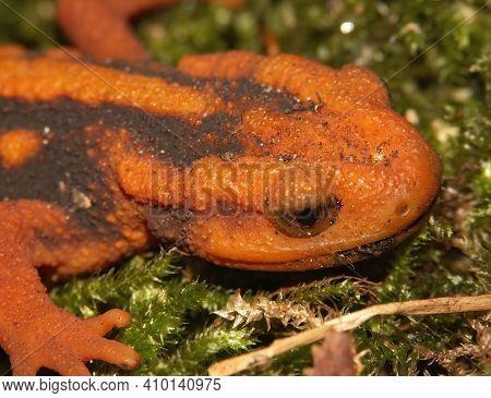 Closeup Of The Orange Head Coloration In The Mandarin Or Yunnan Newt , Tylototriton Shanjing