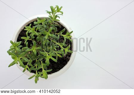 Anise Hyssop Perennial Plant In White Pot On White Table. Growing Herbs In Balcony Garden Or On Wind