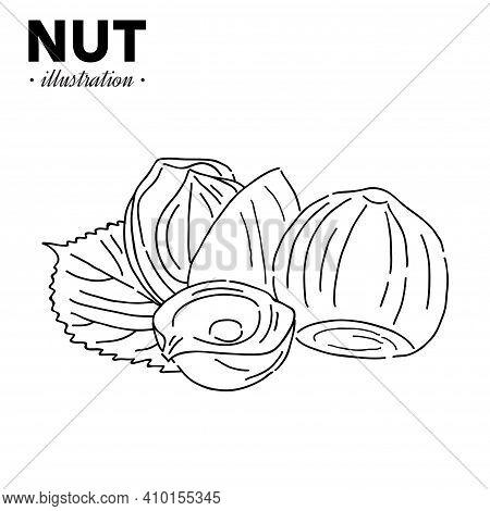 Hand Drawn Sketch Style Hazelnut. Single, Group Seeds, Hazelnut In Nutshells Group. Organic Nut, Vec