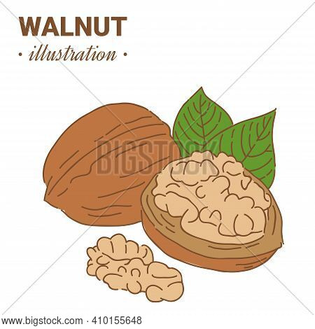 Hand Drawn Sketch Style Walnut In Color. Single, Group Seeds, Walnut In Nutshells Group. Organic Nut
