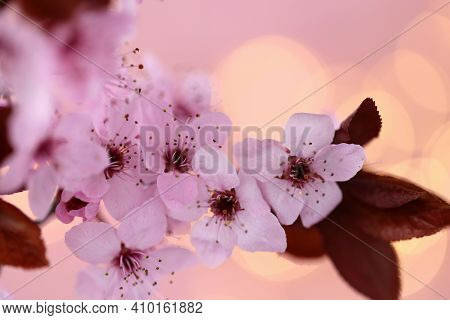 Cherry Blossoms . Cherry Pink Flowers In Close-up On A Blurred Pink Background. Spring Delicate Flow