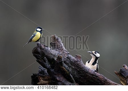 Great Spotted Woodpecker (dendrocopos Major) And Great Tit (parus Major) Sitting In One Tree On Oppo