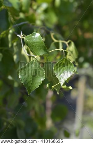 Spider Alley Birch Leaves - Latin Name - Betula Pendula Spider Alley