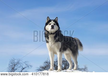 Black And White Siberian Husky Standing On A Hill In The Background Of Trees And Sky. Beautiful Sibe