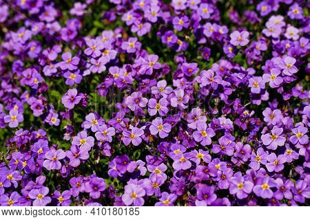 View Of Lilac Aubrieta Deltoidea Flowers In The Summer Garden. Macro Photography Of Nature.