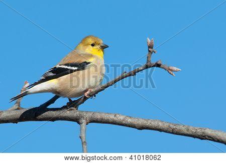 Male American Goldfinch in winter plumage in an Oak tree against clear blue winter sky