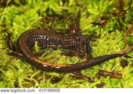 Closeup Of A Dunn's Salamander ,  Plethodon Dunni On Green Moss In Oregon