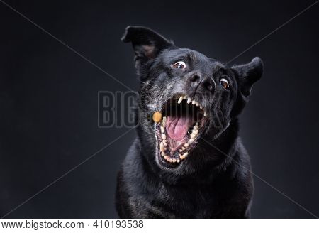 cute terrier lab mix on an isolated black background in a studio