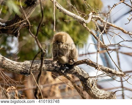 A Japanese Macaque, Macaca Fuscata, Sits In A Tree In The Yudanaka Hot Spring Area Of Yamanouchi, Na