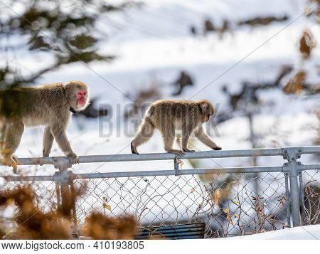 Japanese Macaques, Macaca Fuscata, Walk Along A Fence In The Yudanaka Hot Spring Area Of Yamanouchi,