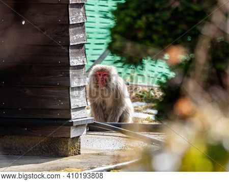 A Japanese Macaque, Macaca Fuscata, Sits In Front Of A Building In The Yudanaka Hot Spring Area Of Y