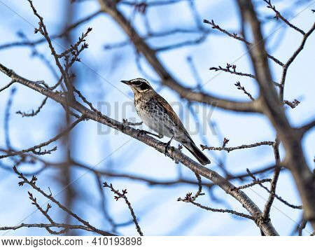 A Japanese Dusky Thrush, Turdus Eunomus, Perches In A Bare Winter Fruit Tree In A Small Orchard In Y