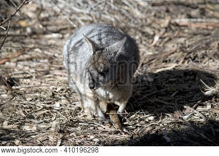 The Tammar Wallaby Is A Grey, White And Brown Small Marsupial