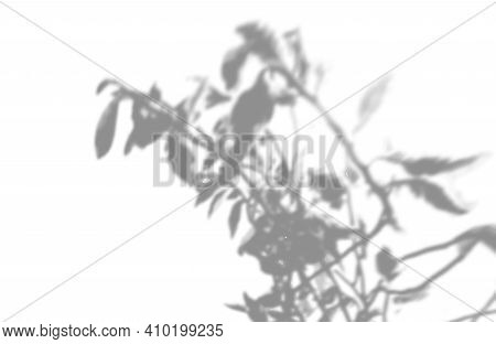 Vector Summer Plant Shadow Background. Shadow Of The Flower Of Happiness Milkweed On The White Wall.