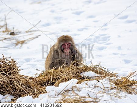A Japanese Macaque, Macaca Fuscata, In The Snow Near Shiga Kogen, A Ski Resort And Nature Preserve I