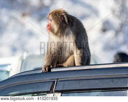 A Japanese Macaque, Macaca Fuscata, On A Car Roof In A Parking Lot At Shiga Kogen, A Ski Resort And